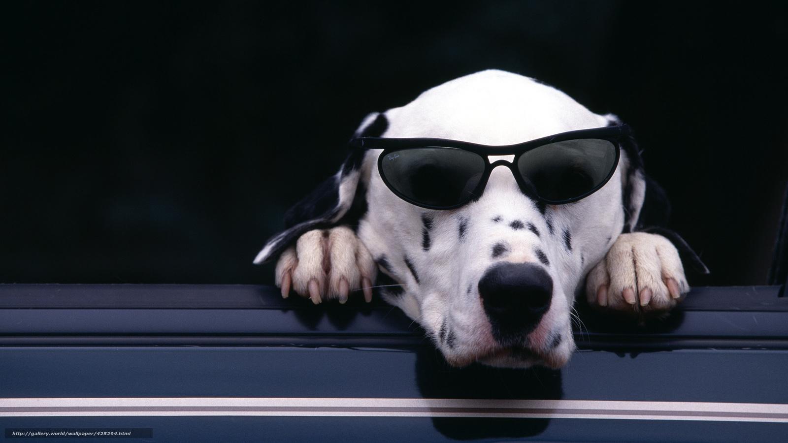 下载壁纸 达尔马提亚, 狗, 墨镜, 可爱 免费为您的桌面分辨率的壁纸