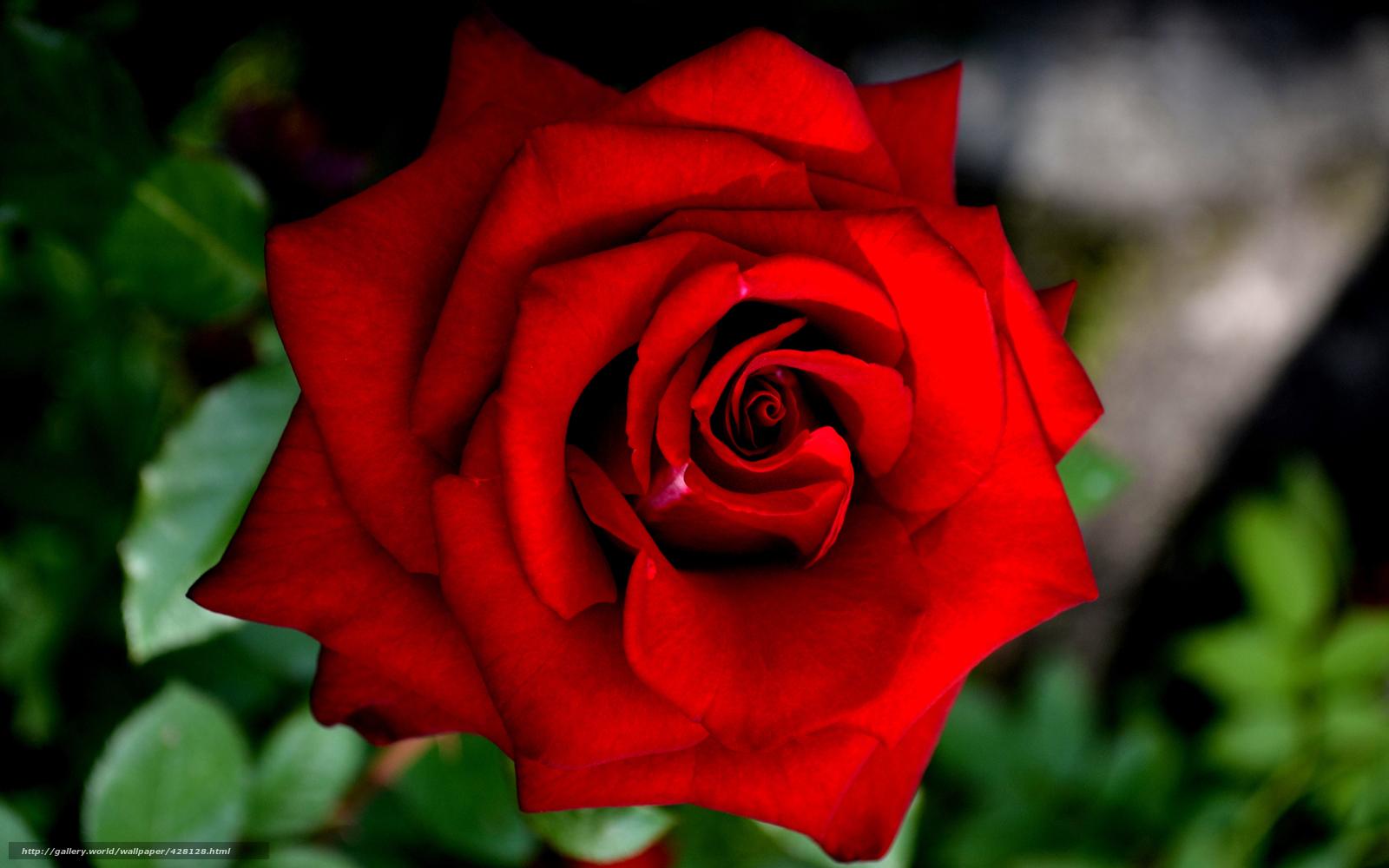 Скачать обои роза красивый цветок