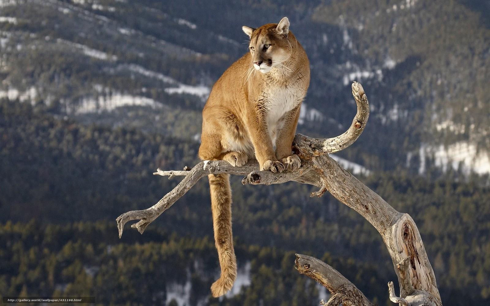 tlcharger fond d 39 ecran puma gros chat tronc lion de montagne fonds d 39 ecran gratuits pour. Black Bedroom Furniture Sets. Home Design Ideas