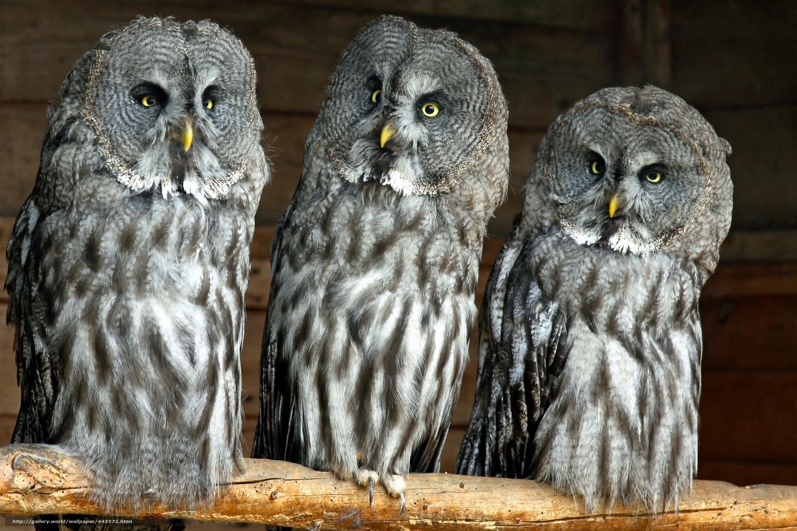 Tlcharger Fond d'ecran Grey Owl, chouette lapone, Laponie ...