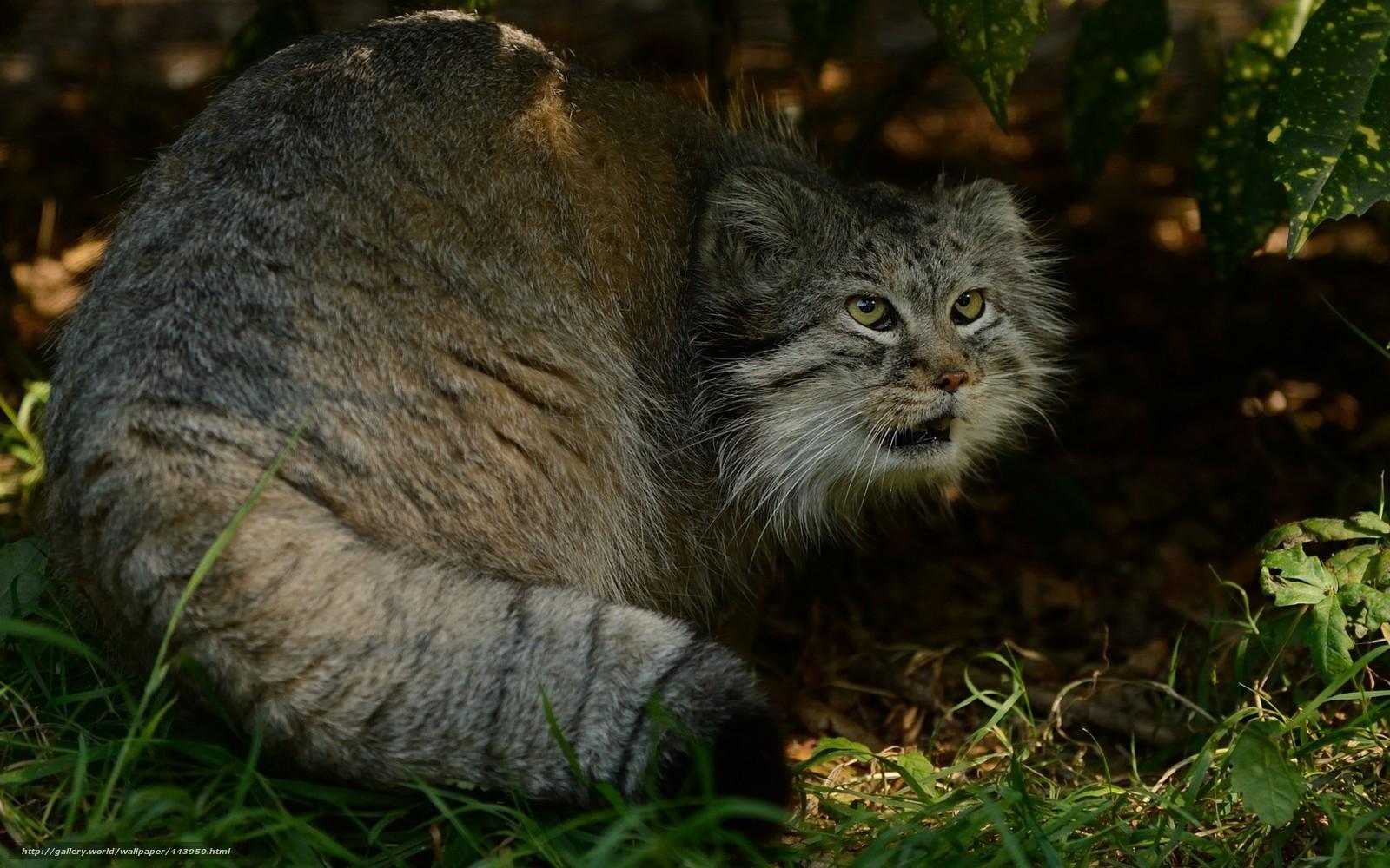 Download Wallpaper Manul Pallas Cat Predator Free
