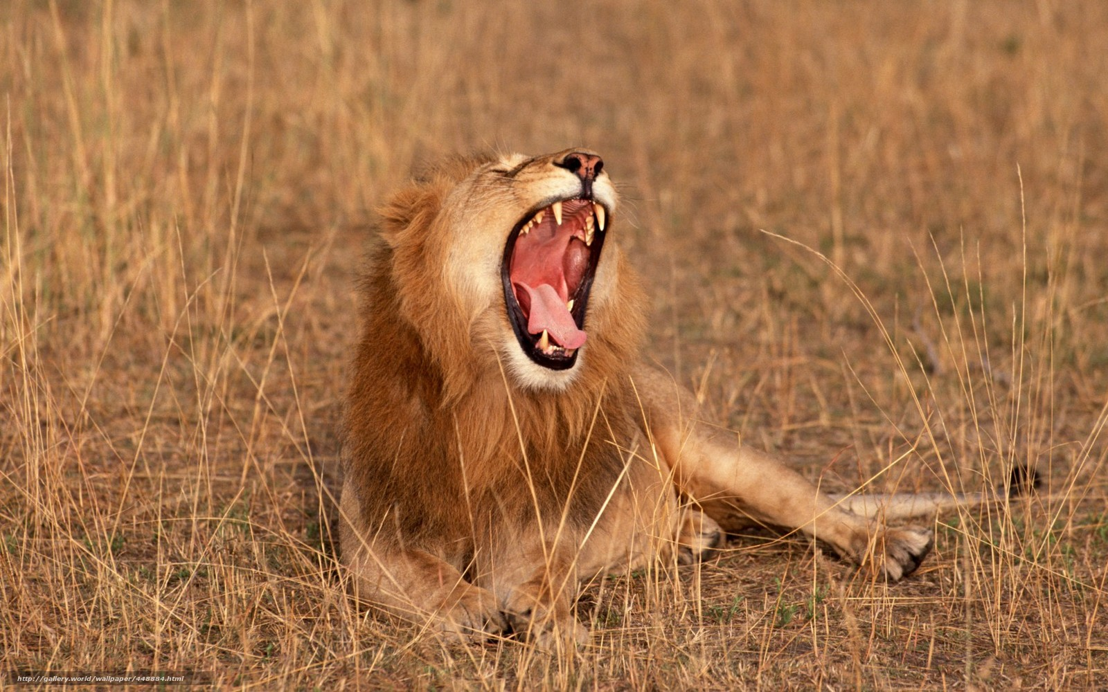 Scaricare gli sfondi africa leone savana animali sfondi for Sfondi leone