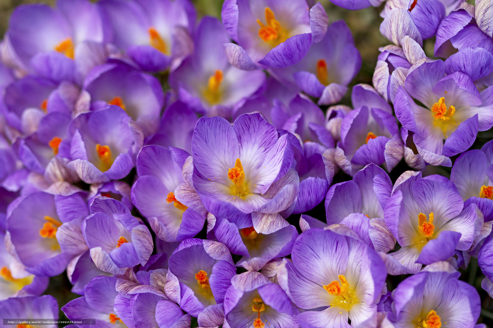 Скачать обои крокусы, шафран, весна ...: ru.gdefon.com/download/krokusy_shafran_vesna/456329/2048x1365