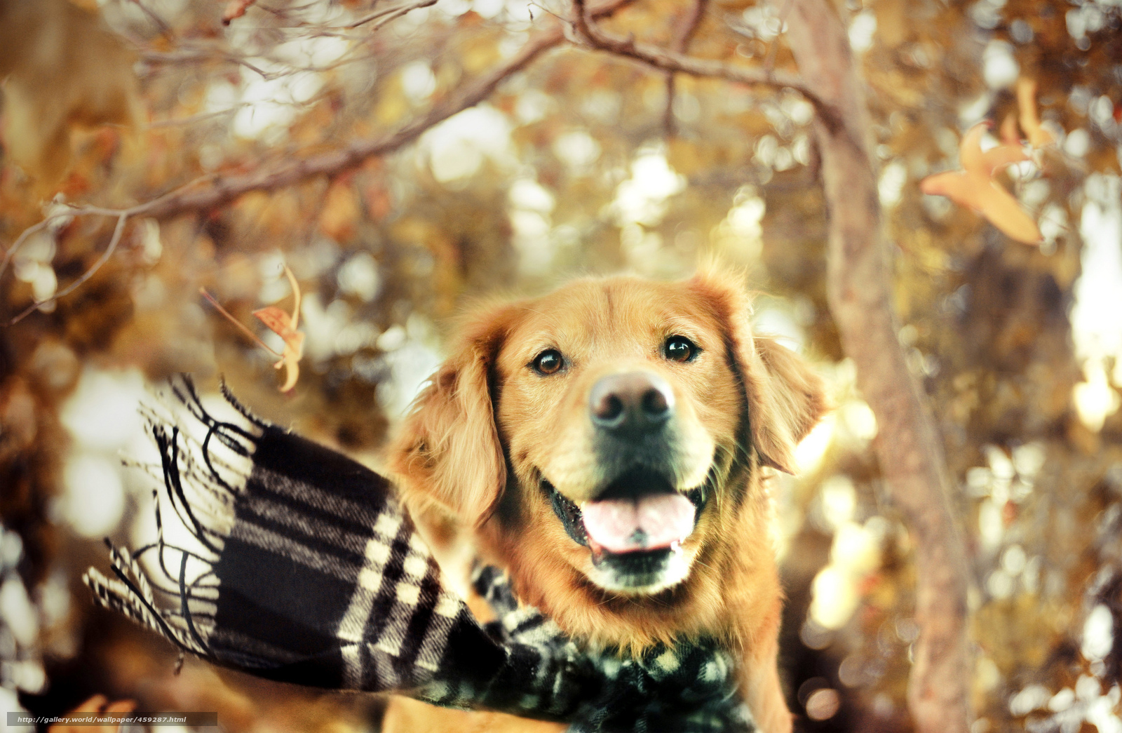 Tlcharger fond d 39 ecran chien charpe automne golden retriever fonds d 39 ecran gratuits pour - Golden retriever gratuit ...