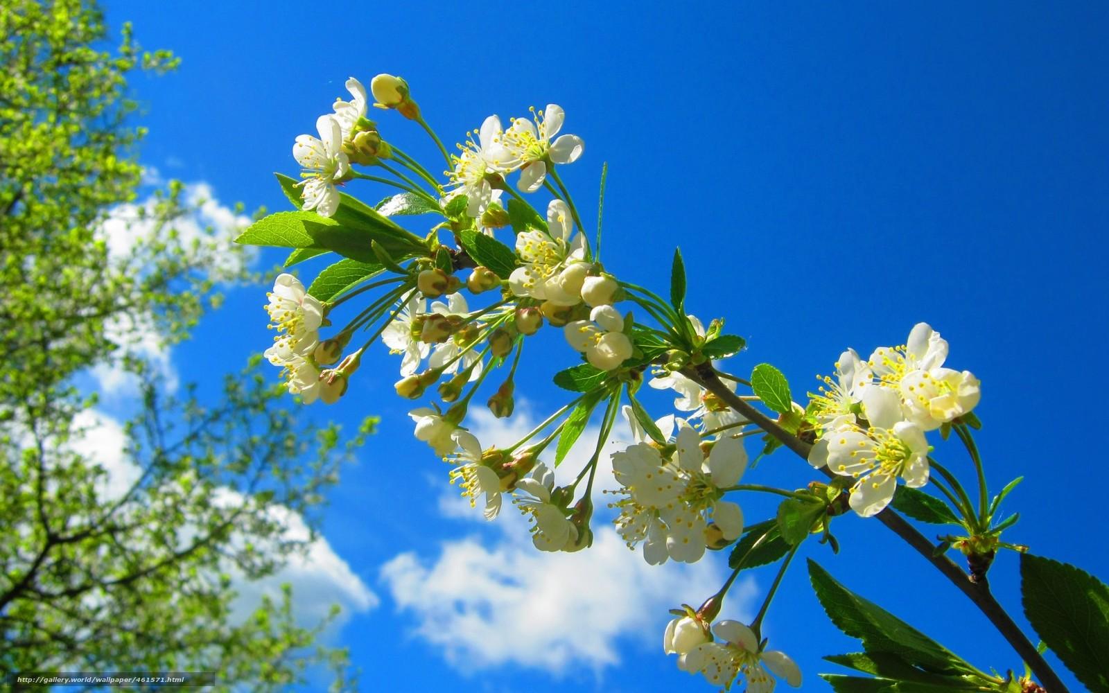 Scaricare gli sfondi primavera ramo ciliegia fiorire for Sfondi desktop primavera