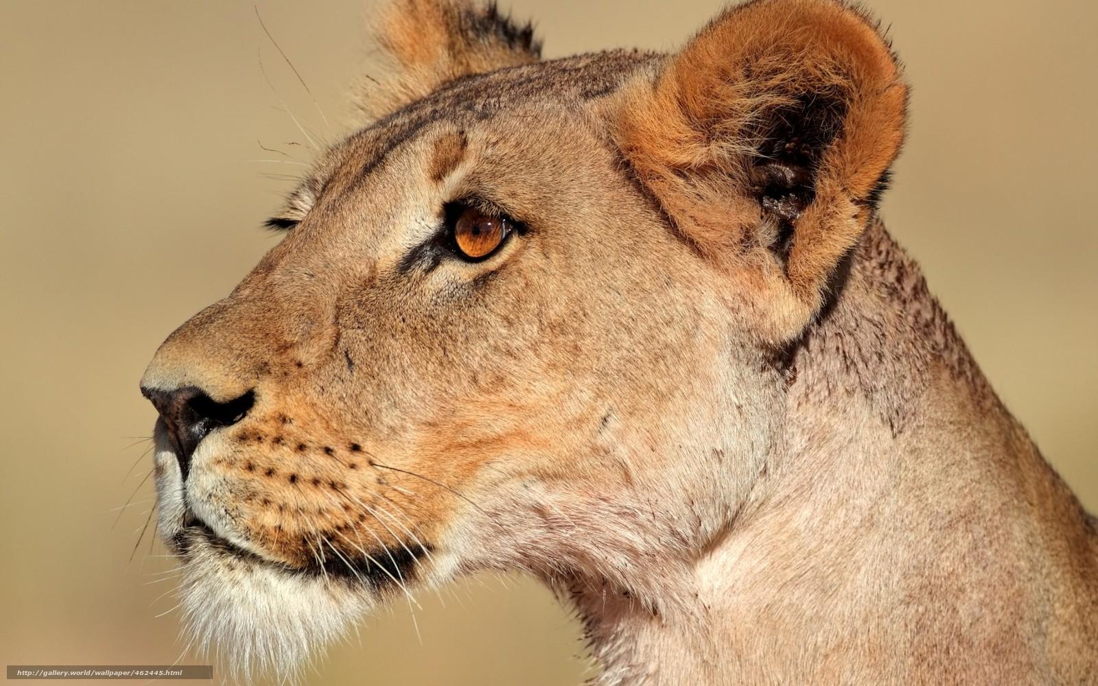 下载壁纸 母狮, 捕食, 野猫 免费为您的桌面分辨率的壁纸 1680x1050 — 图片 №462445