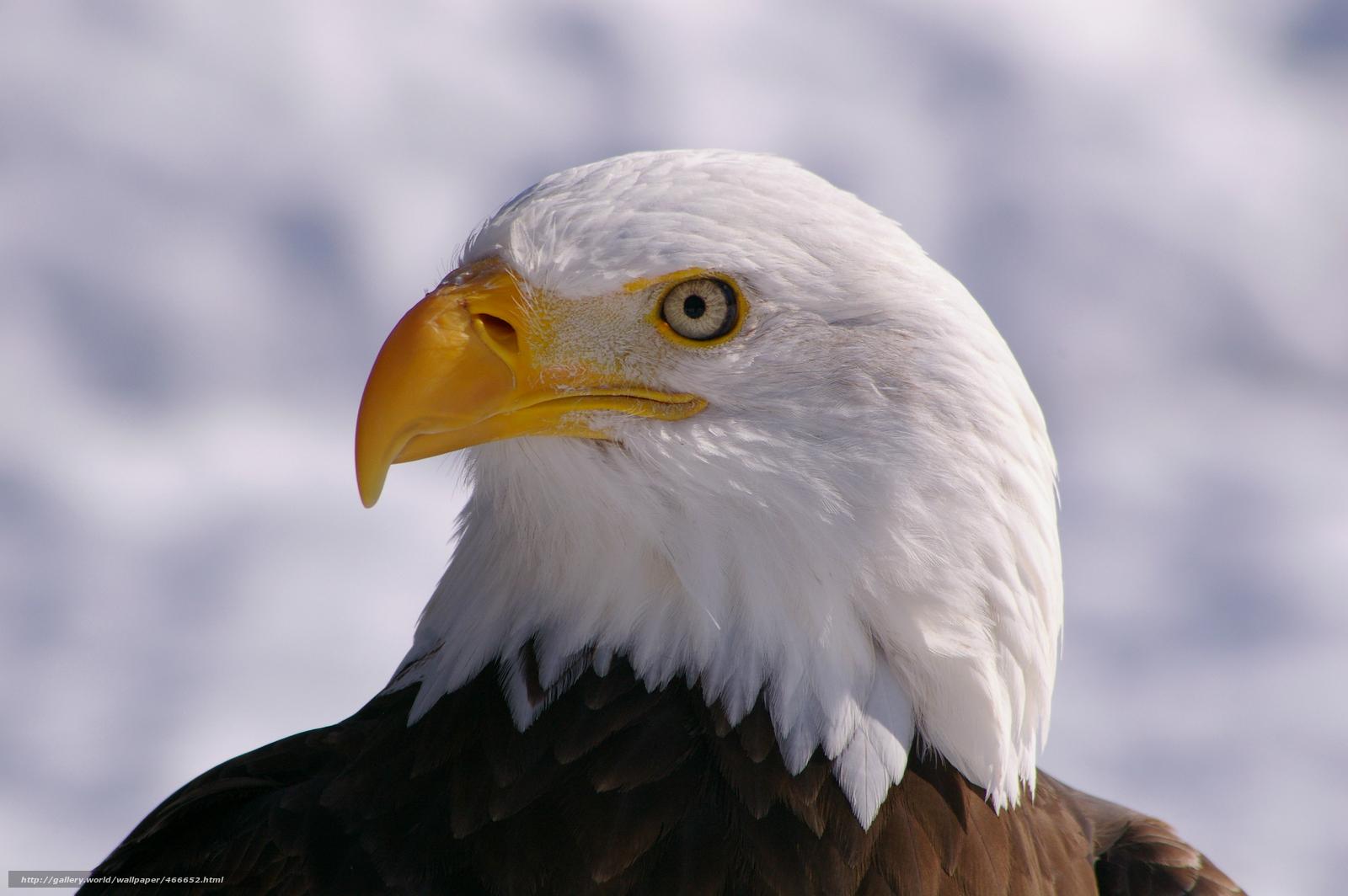 下载壁纸 鸟 白头海雕 看 轮廓 免费为您的桌面分辨率的壁纸 3008x2000 图片 №466652