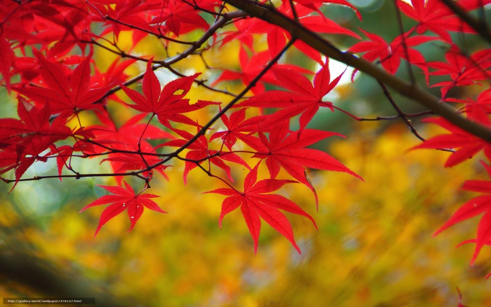 Scaricare gli sfondi acero fogliame autunno rosso for Foto per desktop gratis autunno