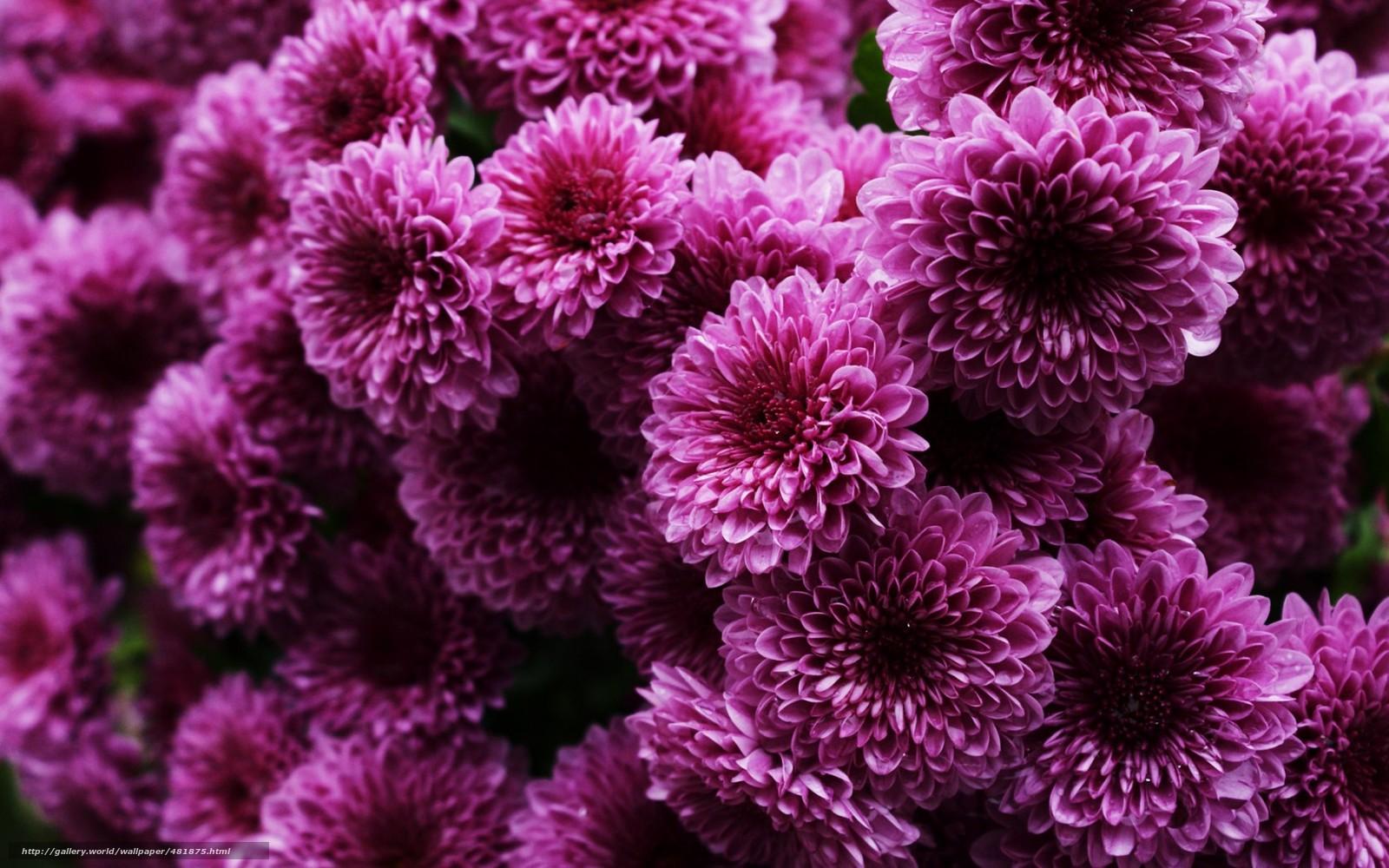 muchos, arbusto, rosa, Crisantemo