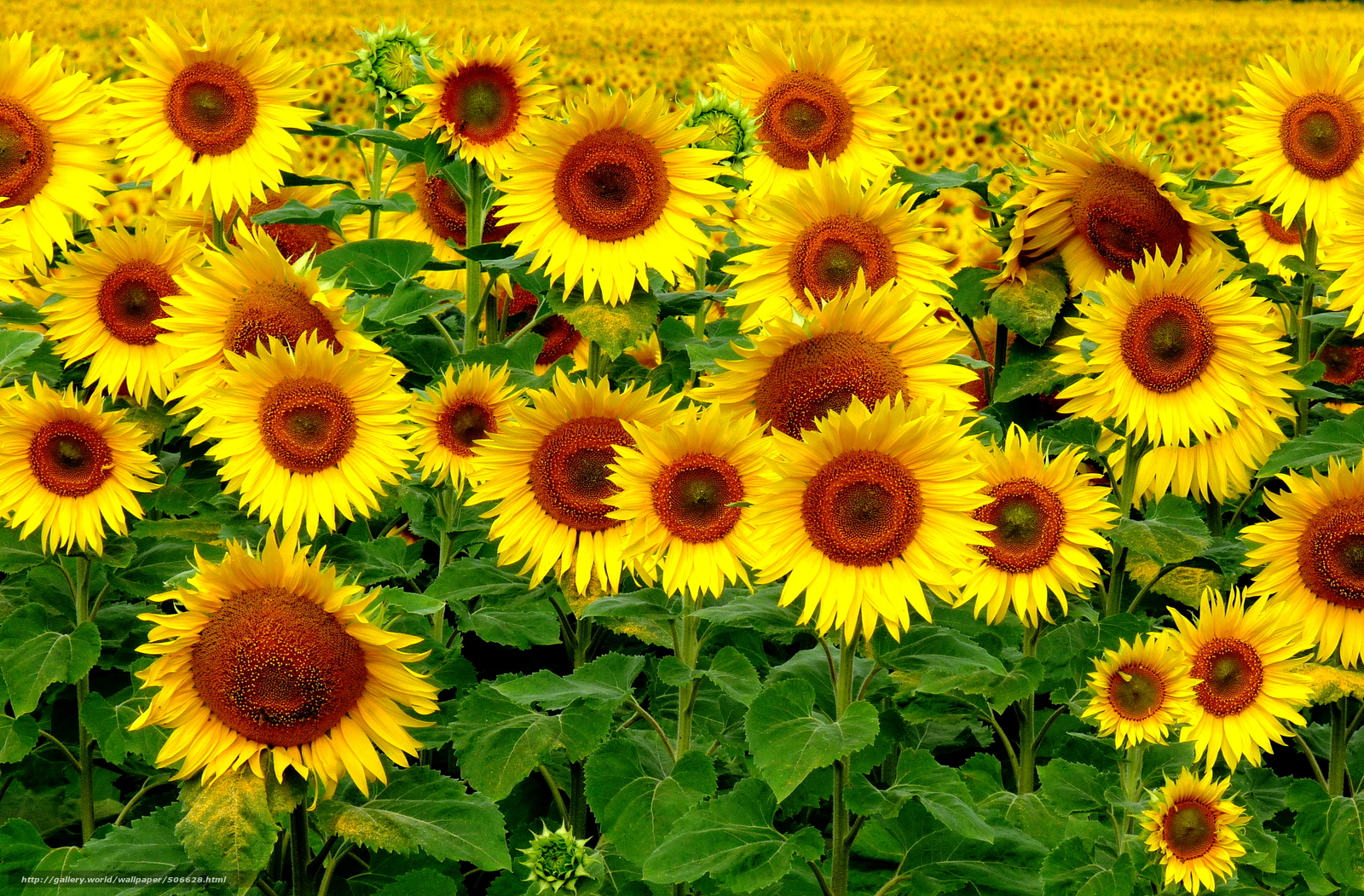 A Line from Linda Sunflowers in a Field