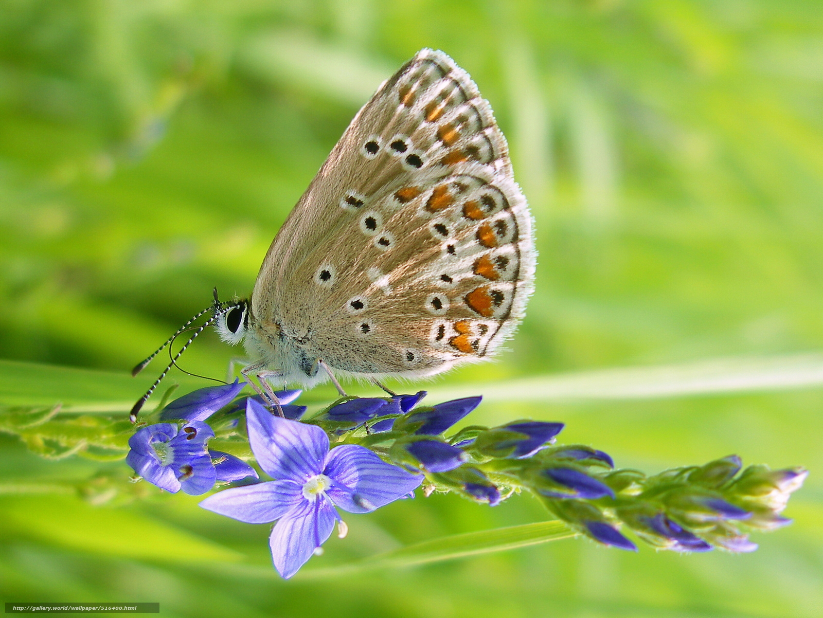 Baixar Wallpaper Borboletas, vero, cobre-borboleta, natureza Papis de ...: http://pt.gde-fon.com/download/Borboletas_vero_cobre/516400/4000x3005