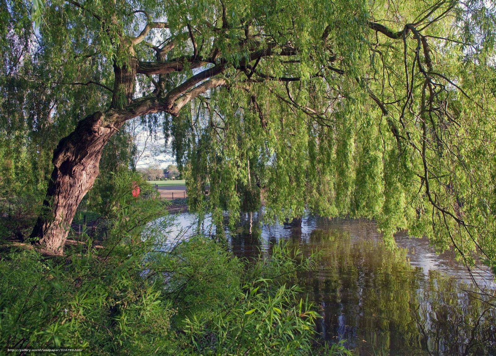 Картинка ива дерево