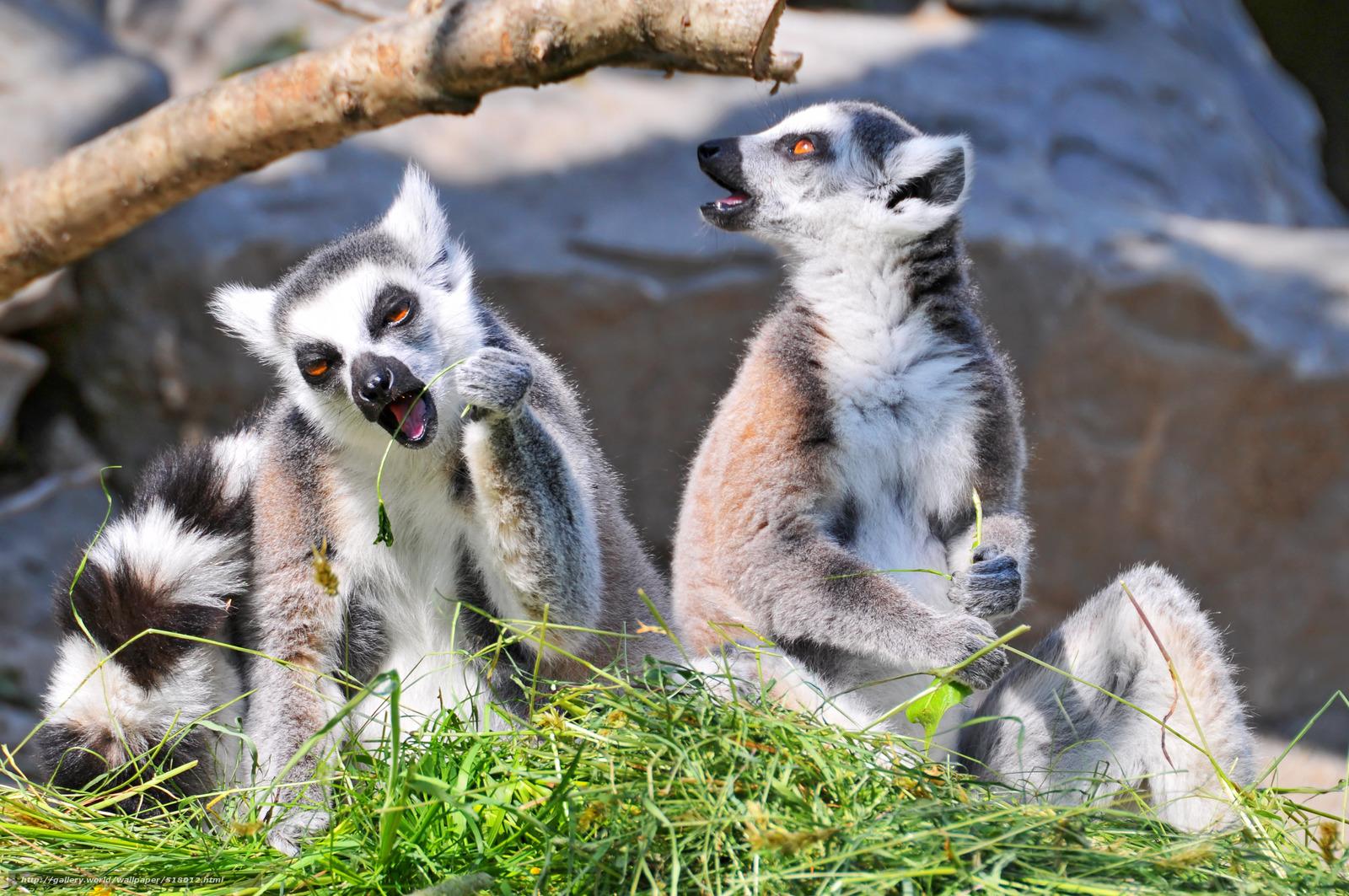 download wallpaper 3840x2160 lemur-#23