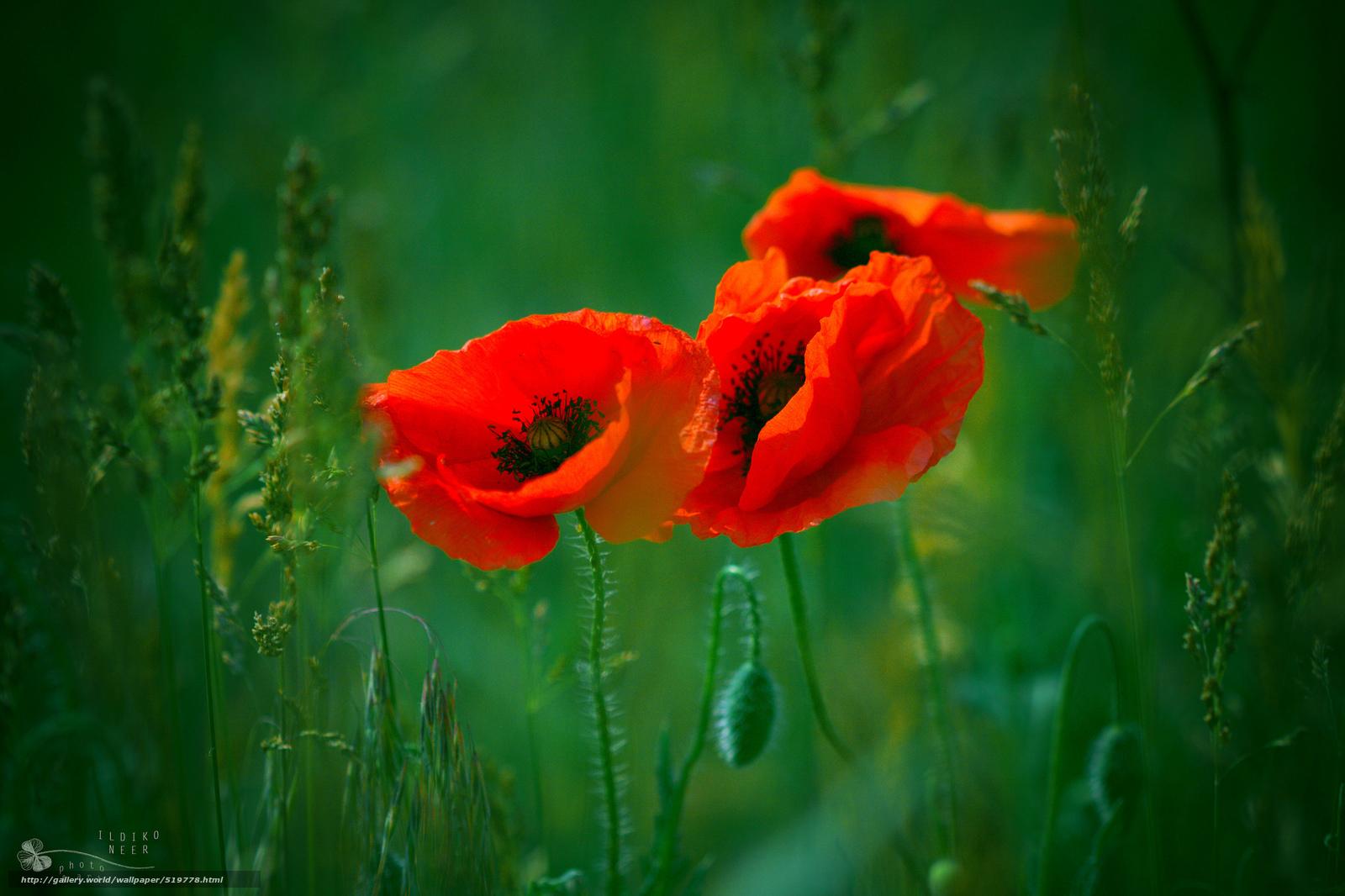 Greens poppies gras rot drei ildiko neer