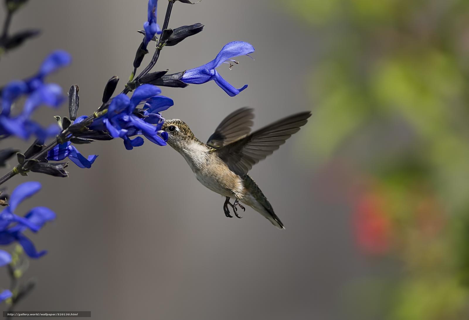 Tlcharger Fond D Ecran Oiseau Colibri Fleurs Nectar