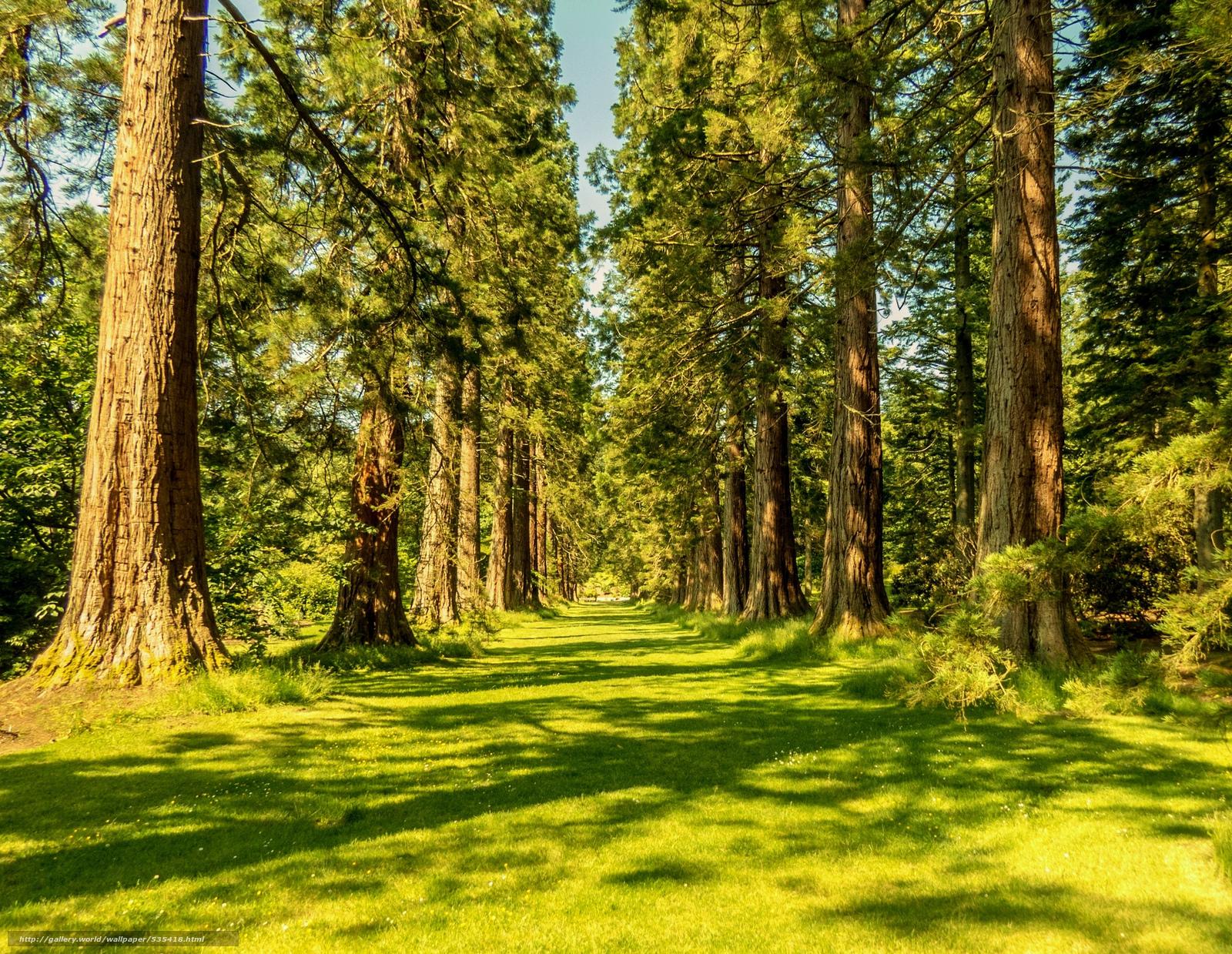 desktop wallpaper redwoods