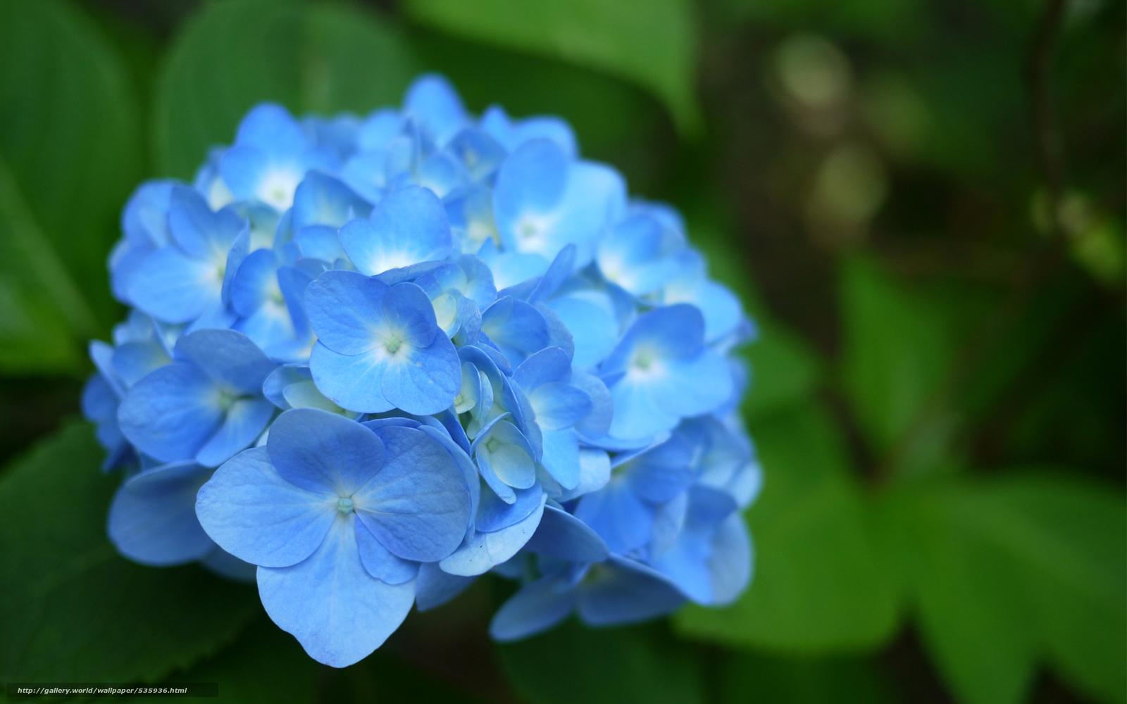 download hintergrund laub blau hortensien blume freie desktop tapeten in der auflosung. Black Bedroom Furniture Sets. Home Design Ideas