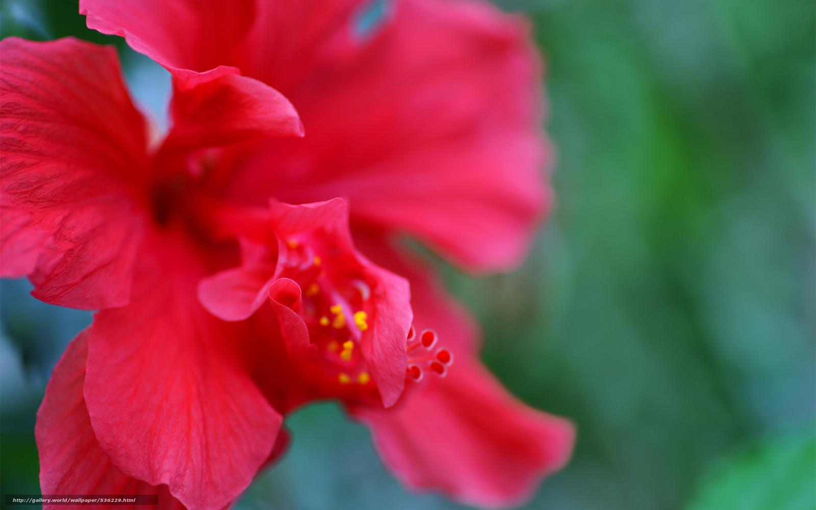Scaricare gli sfondi petali ibisco natura rosso sfondi for Ibisco rosso