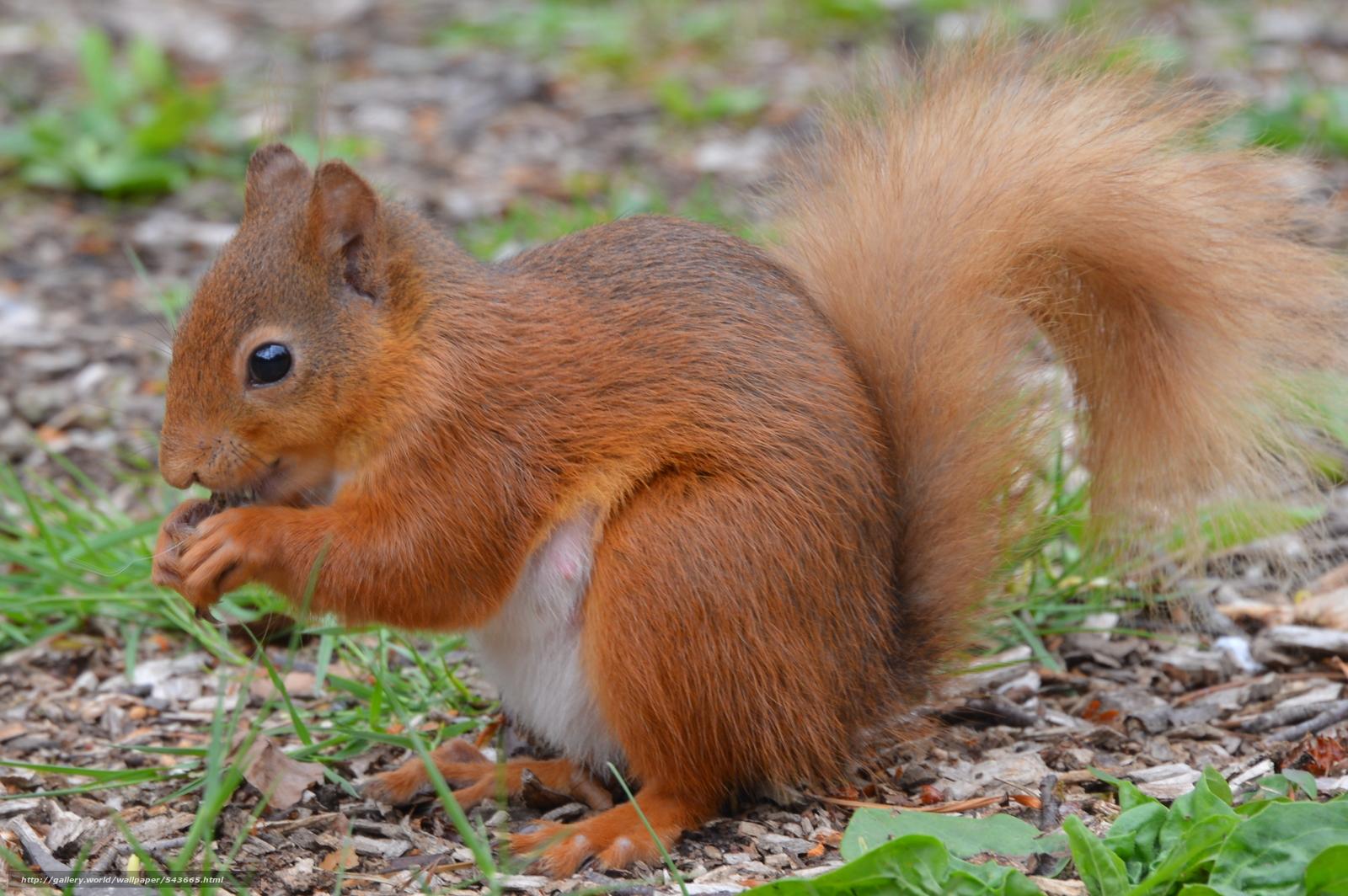 Tlcharger Fond d'ecran écureuil, écureuil roux, Whinfell forêt ...
