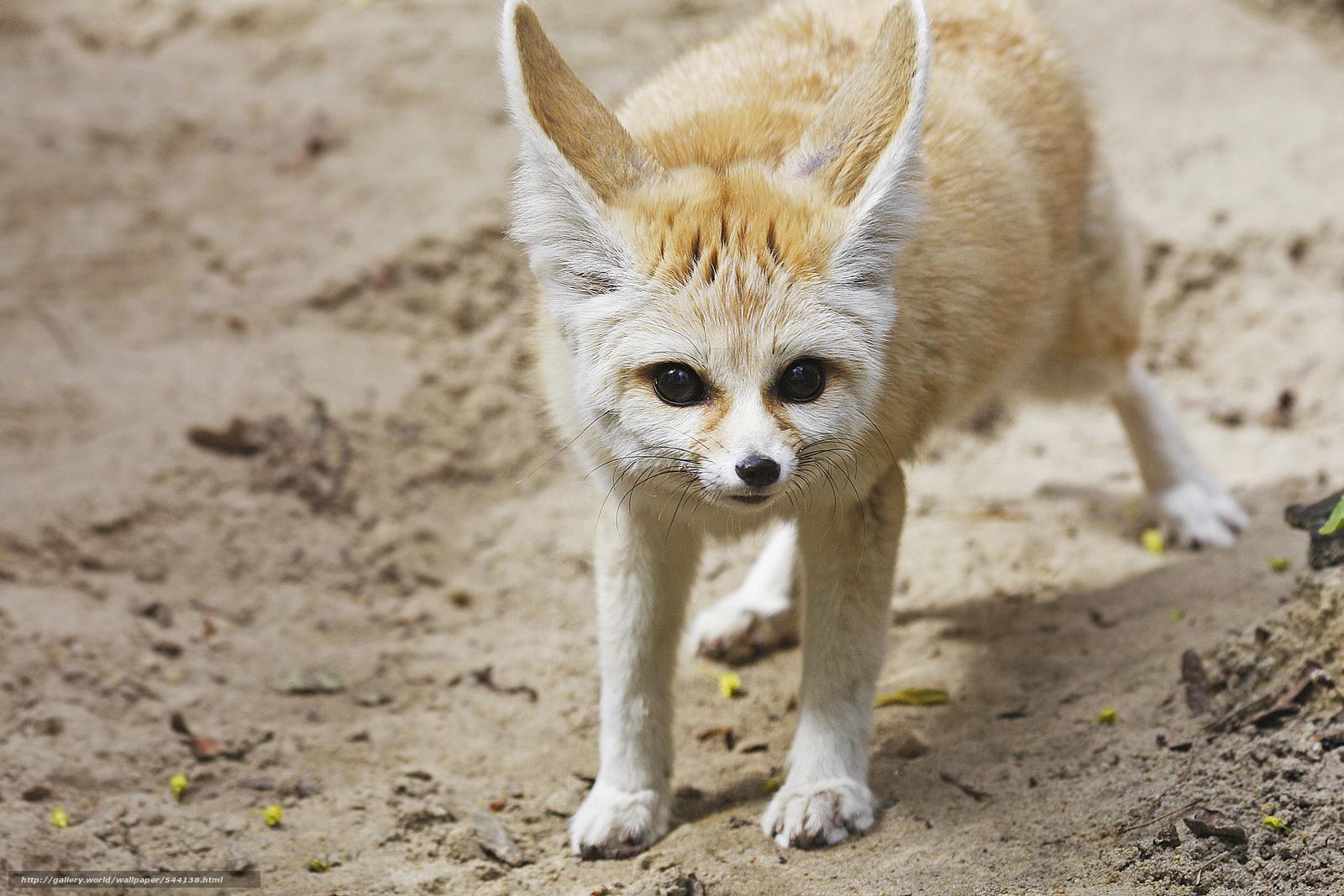 Descargar Gratis Fennec Fox Fenech Zorro Fondos De