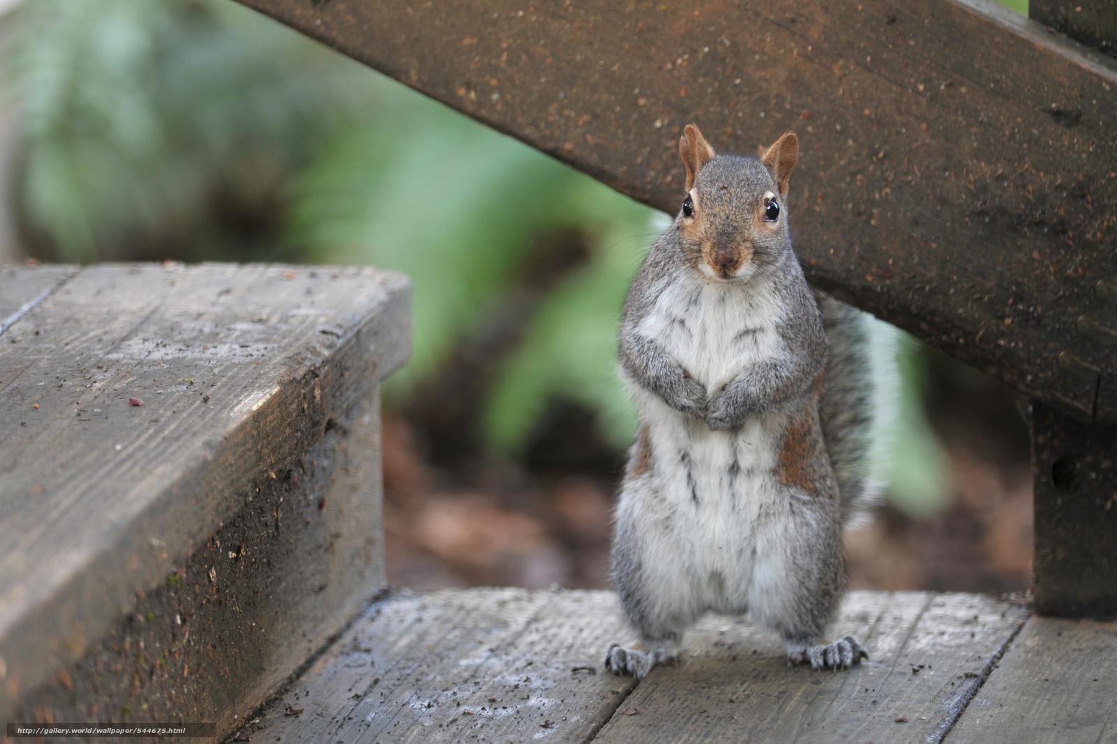 gray squirrel wallpaper - photo #12
