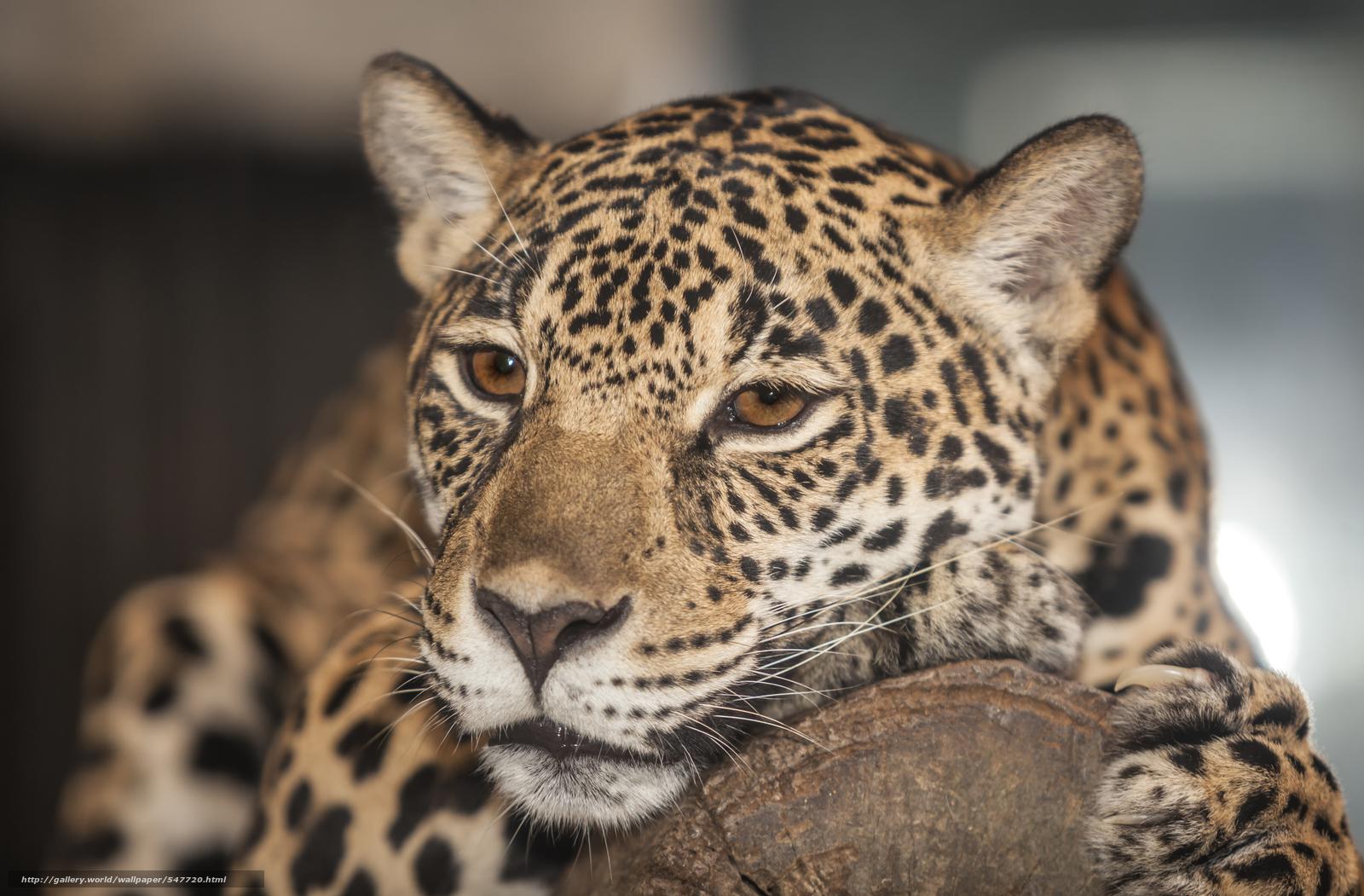 Hd wallpaper leopard - Pobra Tapety Lampart Zwierz Cy Drapie Nik Darmowe Tapety