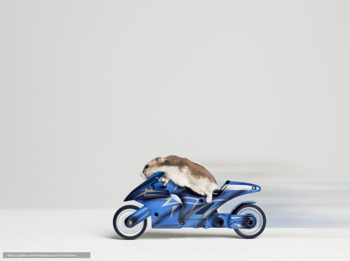 hamster c