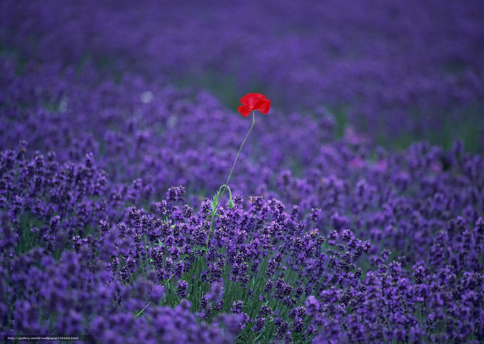 Download wallpaper lavender,  poppy,  field,  Flowers free desktop wallpaper in the resolution 1920x1363 — picture №78486