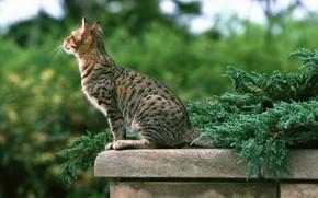 фото британских полосатых и пятнистых котят #9