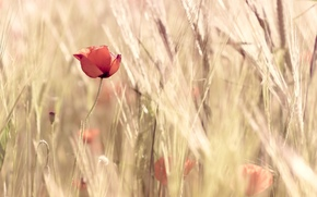 Widescreen, Flowers, ears of corn, poppy, red, wheat, wallpaper, nature, floret, fullscreen, field, flowers, background