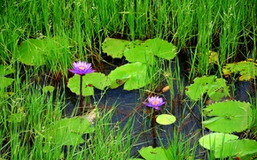 plants, Flowers, grass, nature, pond
