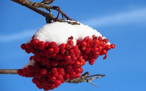 snow, nature, Rowan, branch