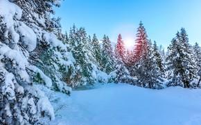 лес, зима, ели, деревья, снег, природа