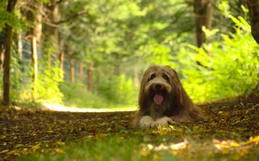 bearded collie, dog, dog, forest