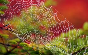 web, rosée, Macro