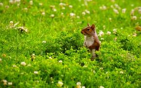 esquilo, em patrulha, prado, Flores