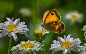 borboleta, Camomila, Flores, Macro