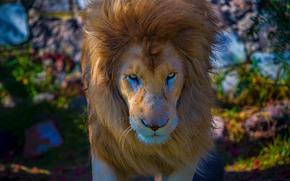 лев, царь зверей, морда, грива, взгляд