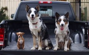 бордер-колли, чихуахуа, собаки, троица, трио, машина, пикап, кузов