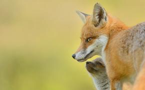 foxes, fox, pup, cub