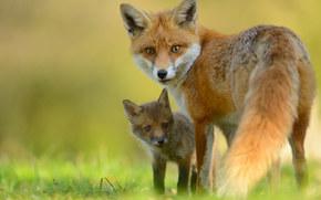 foxes, fox, pup, cub, view