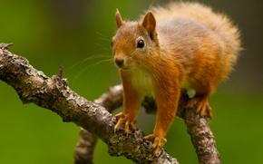 squirrel, Redhead, BRANCH