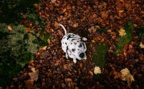 Dalmatin, câine, cățeluș, vedere, frunziș