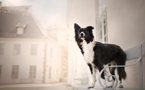 Border Collie, câine, bancă, oraș