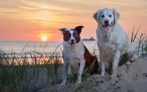 собаки, закат, море, песок