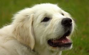 золотистый ретривер, голден ретривер, собака, морда