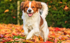 Коикерхондье, собака, радость, настроение, листья, осень