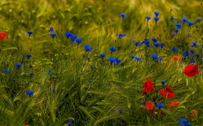 field, Flowers, Poppies, cornflowers, ears of corn