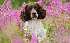 dog, meadow, Flowers