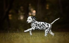 Dálmata, perro, cachorro, gira, bokeh
